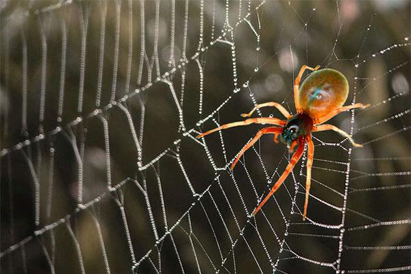 سمپاشی عنکبوت