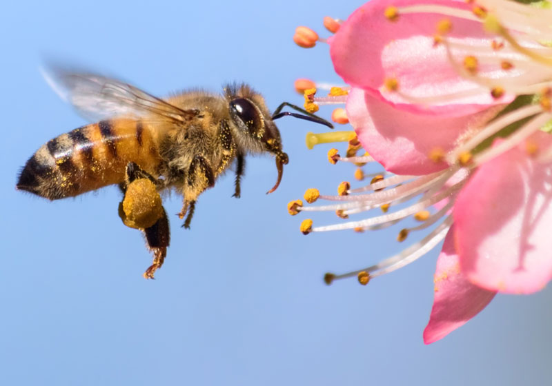 سمپاشی زنبور